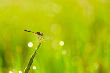dragonfly and bokeh on green background whit nature light