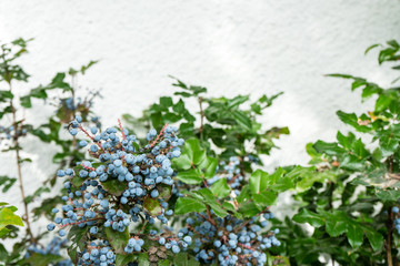 blueberry ripe on plant ready to harvest with wall background