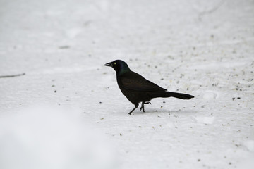 Grackle bird feeding during winter time.