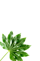 Big leaf of tropical plant on white background top view copyspace