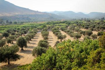 Olivenbäume im Hain