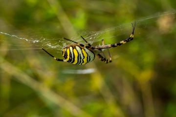 Wasp Spider, Wespenspinne