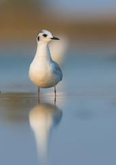 Little gull (Hydrocoloeus minutus or Larus minutus)