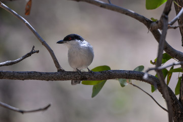 Black backed Puffback
