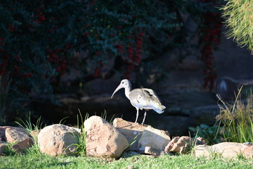 Hadeda Ibis at lunch