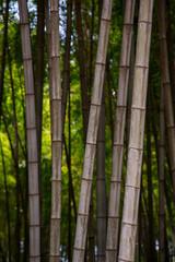 Many bamboo stalks, bamboo trees, vertical