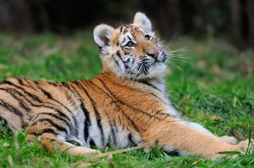 Wall Mural - Portrait of a tiger cub