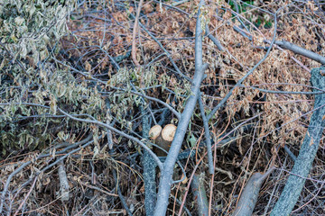 Sawed dry branches of deciduous and coniferous trees for the fire