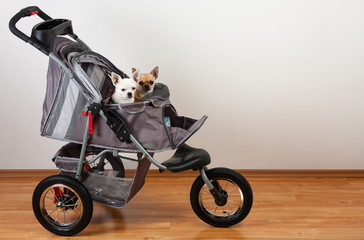 Cinnamon and white  Chihuahua are sitting in comfortable pet stroller