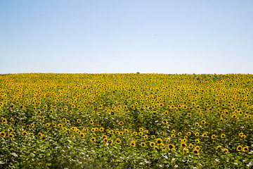 Field of sunflowers on a clear summer day