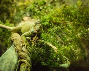 Beautiful iguana in a green environment