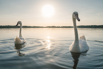Two white swan birds on the lake at sunset