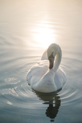 White swan bird on the lake at sunset