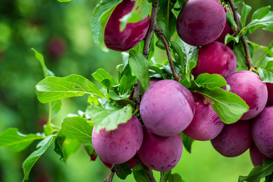 Beautiful background of the red ripe plums on the tree