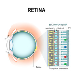 retinal cells: rod and cone cells