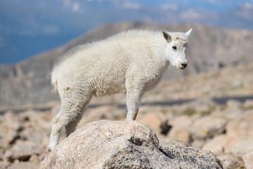 Mountain Goats in the Colorado Rocky Mountains