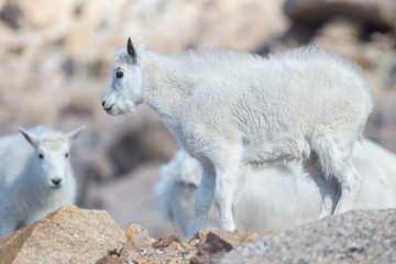 Baby Mountain Goat - Mountain Goats in the Colorado Rocky Mountains