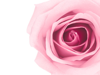 Top view and close-up image of beautiful pink rose flower with copy space. Valentine day, love and wedding concept