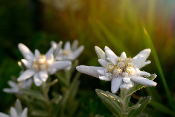 Edelweiss flowers in nature