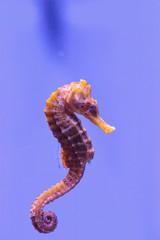 Longsnout seahorse known as Hippocampus reidi