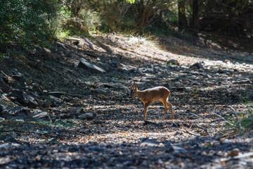 Macho de Corzo en el claro del bosque. Capreolus capreolus.