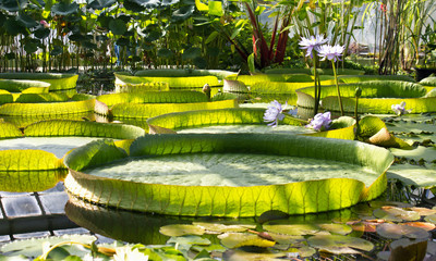 Leaves of Victoria Amazonica in Botanical Garden.Giant Waterlily.