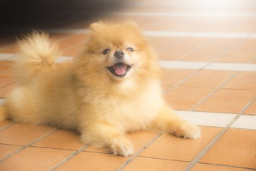 Brown pomeranian dog smiling, Selective focus.Pet concept.