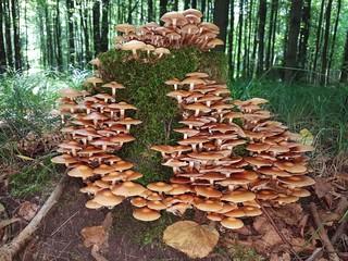 Stockschwämmchen auf einem Baumstumpf