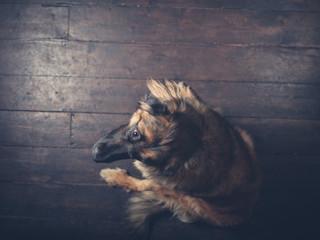 Overhead shot of Leonberger dog