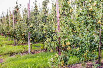 Ripening Conference pears in a modern Dutch orchard