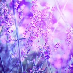 Lavender flower field, image for natural background, selective focus
