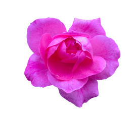 Pink rose isolated. Beautiful flower on white background