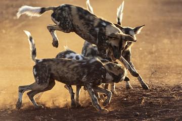 Wild Dog Jump