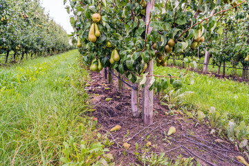 Ripening Conference pears in a modern Dutch orchard with espaliers