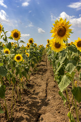 sunflower field , between the lines at cloudy blue sky