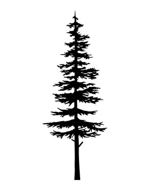 tree pine silhouette, vector isolated silhouette of a coniferous tree. Can be used in design, illustration, tattoo.