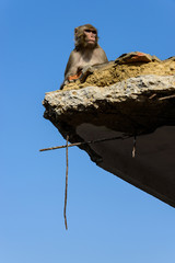 Macaque on a destroyed building after 2015 Nepal earthquake