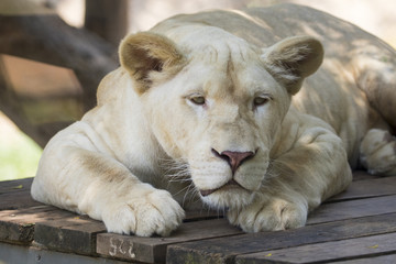 Image of female lion relax on wooden floor. Wild Animals.