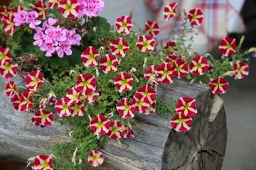 Petunia and geranium