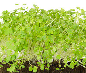 Rocket salad, fresh sprouts and young leaves front view over white. Salad vegetable and microgreen. Also known as arugula, rucola or rugula. Cotyledons of Eruca sativa in potting compost. Macro photo.