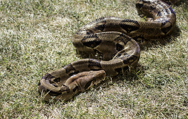 Boa constrictor on grass