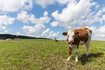Vache de race montbeliarde