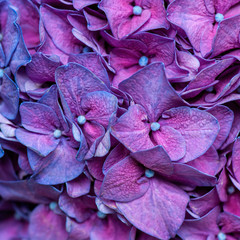Wall Mural - Purple hydrangea background