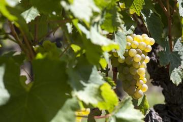 France. Vignoble de Sauternes, Gironde