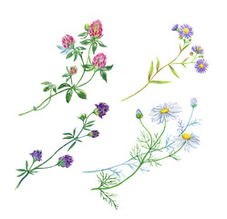 Set of wildflowers painted in watercolor, isolated on white background with clipping path.