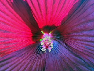 Rose Mallow flower close up (Hibiscus moscheutos)