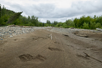 Bear footprints in sand on Alaskan river bed