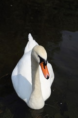 white swan in lake