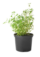 Green thyme in pot on white background