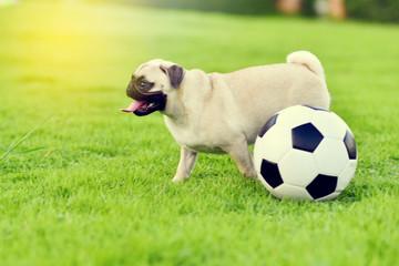 Cute Pug playing in garden